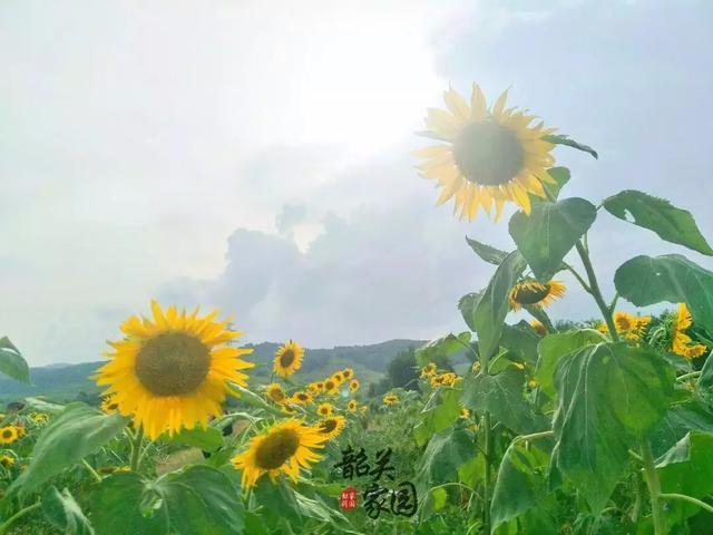 韶关北郊发现一片颜值爆表的向日葵花海!