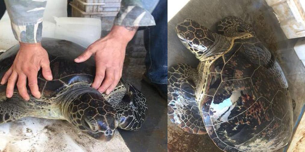 渔民发现40公斤大海龟 主动放生大海