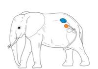 不是所有雄性的睾丸都挂在外面,比如大象!