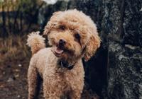 """狗狗能听懂人类语言,但它们只对你""""拍马屁""""感兴"""