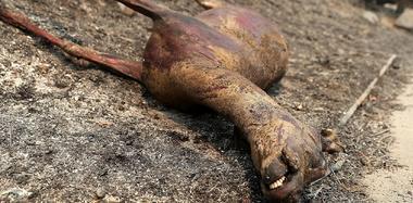 美国加州大火持续肆虐 野鹿被烧成干尸
