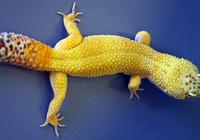 蜥蜴能够再生部分大脑 新发现或让人类成为受益