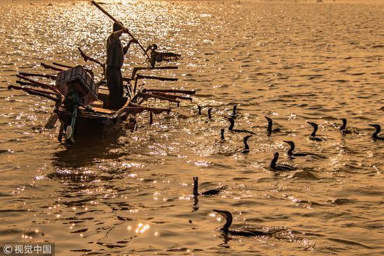 2018年7月8日,山东济宁,微山湖渔民利用鱼鹰捕鱼/视觉中国