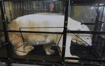 科学家让北极熊走上跑步机 连熊都开始健身了?
