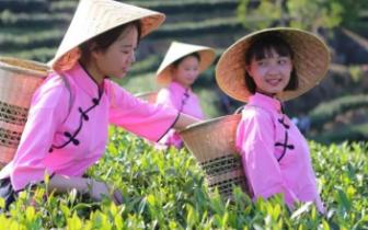 央视精准扶贫项目公益广告助力政和白茶走俏市场 茶农