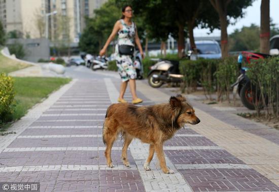 2017年7月30日,西安,流浪狗在街头乱窜,你能看出这只狗是否得了病吗? / 视觉中国