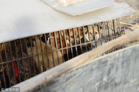 2016年12月07日,银川贺兰一个非法屠宰狗肉窝点。狗们挤在狭小的笼子里 / 视觉中国