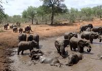 非洲人拿蜜蜂吓唬大象!老鼠不管用了?