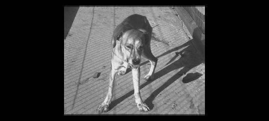 一只典型的狂犬病犬。它处于狂躁状态,呈恐惧表情,舌头因麻痹露出口外,一直在流口水 / wikipedia