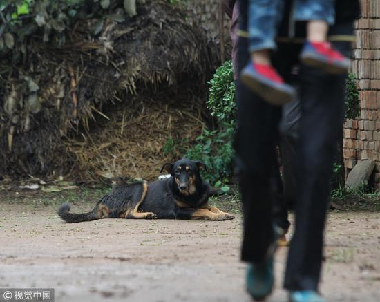 2012年8月19日,陕西蓝田,一妇女被狗咬20天后 疑似狂犬病身亡,在王坡村杨某家门口的路上,仍有散养的狗/ 视觉中国