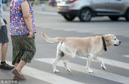 2017年7月30日,西安。很多主人没有给宠物狗牵狗绳的习惯,让路人很没有安全感 / 视觉中国