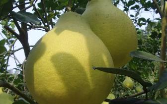 阳山这里的沙田柚种植户收入至少翻一番