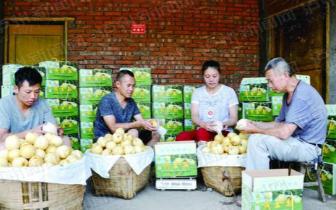 泸州这个果农有点牛 卖梨一天进账三四万