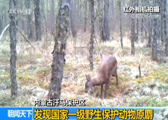 内蒙古发现一级野生保护动物原麝:麝妈妈带两幼崽
