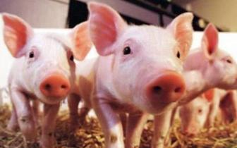 山东生猪价格追涨 后市行情存不确定性