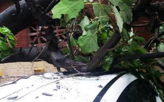 """""""温比亚""""郑州发威 连拔市区大树多车车顶被拍扁"""