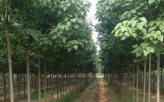 灵宝成功打造三门峡首家速生楸树繁育示范基地