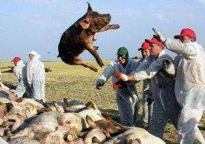 三地发生非洲猪瘟疫情 人类会被感染吗?