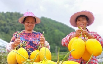 脆甜清香让人欲罢不能 龙胜种出了新疆才有的水果