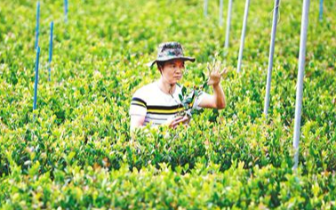 培育优良油茶种苗 带动村民脱贫致富