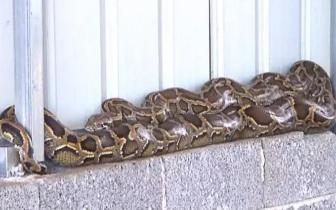 广西一仓库惊现数米长蟒蛇 村民却很淡定