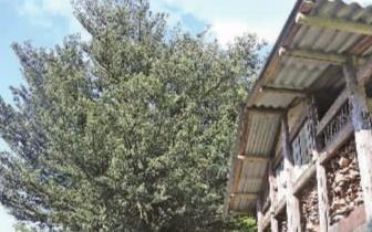 宁化县彭高村发现一株古罗汉松 树龄达400年