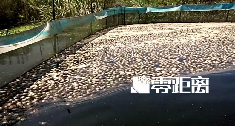 洪泽湖水面变黑万亩鱼蟹死绝 大量死鱼漫上岸堤