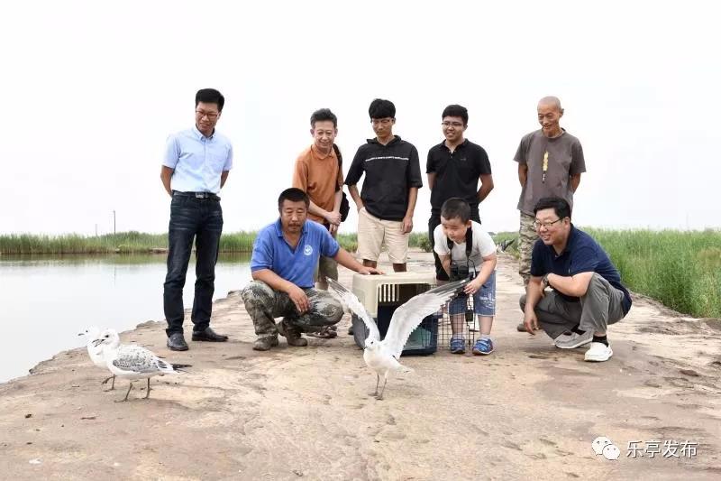 国内首例人工孵化遗鸥在乐亭成功放飞
