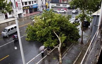 公路两侧行道树被台风刮倒 至今无人解决