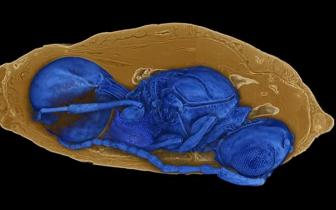 化石蛹内发现远古黄蜂 繁衍方式酷似异形