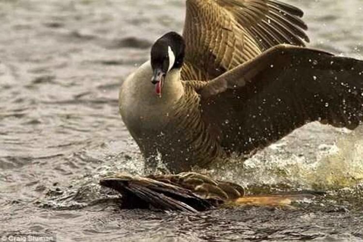彪悍的鹅生不需要解释,任天堂直面会上的白鹅怎么这么凶?