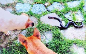 """福州西湖一别墅里 深夜上演""""蛇犬斗"""""""