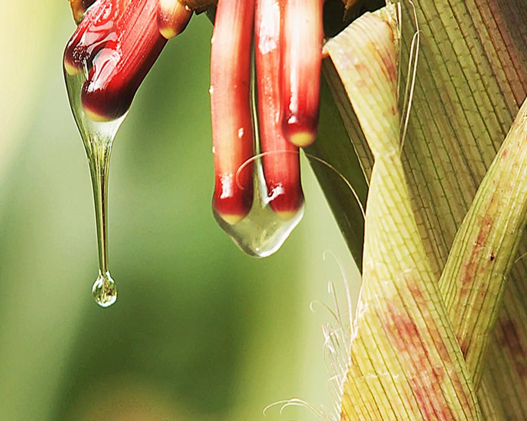 化肥导致氮污染?这种玉米能从空气中自给自足