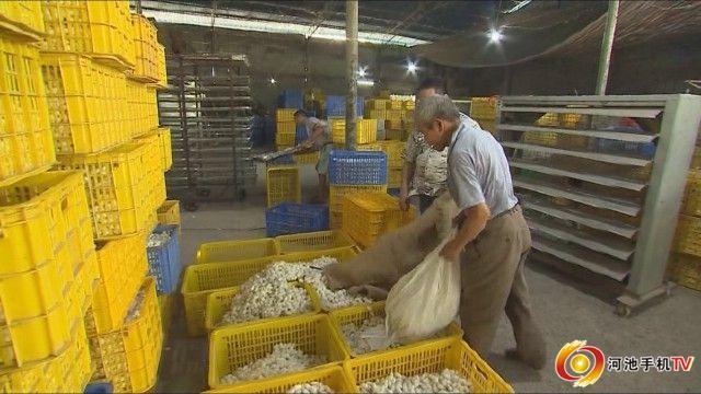 宜州做强做优蚕桑产业帮助农民增产增收