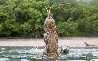 惊险!摄影师近距离拍下科莫多巨蜥惊人照片
