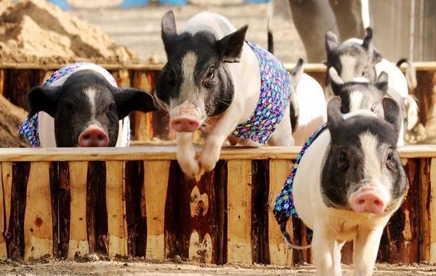 """小猪运动会 """"萌""""趣横生逗乐众人"""