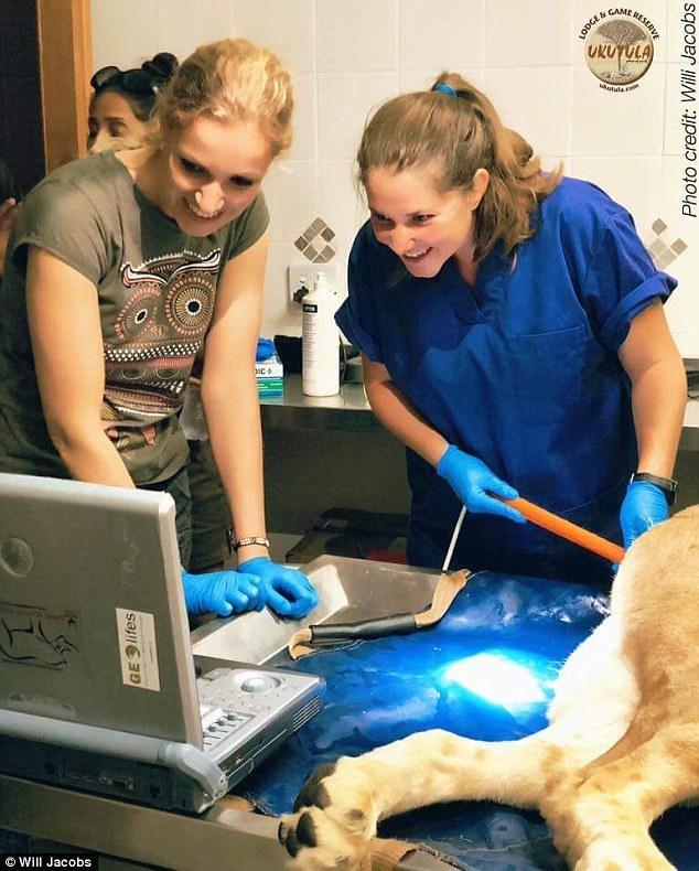 全球首对试管双胞胎狮子出生 濒危大猫们有救啦