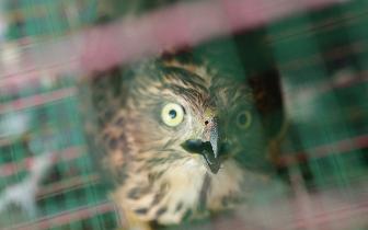 世界濒危物种闯入南山鸽舍 捕食多只鸽子今早被放生
