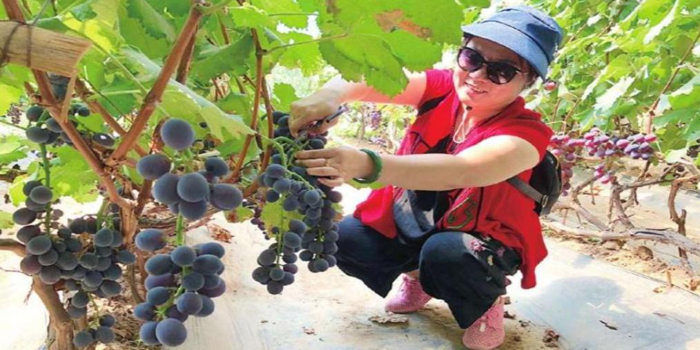长治襄垣优质采摘园:葡萄熟了
