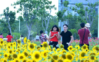 福建泉州:向日葵花海醉游人