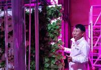 """韩国将公路隧道造成农场:粉色系""""阳光""""配古典音"""