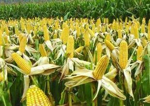 柴小峰:玉米价格仍处底部