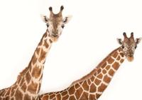 长颈鹿刚出生就会走,人类咋就不行?