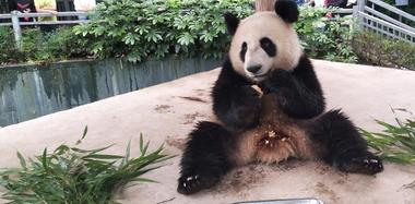 国宝大熊猫过中秋节 吃特制月饼