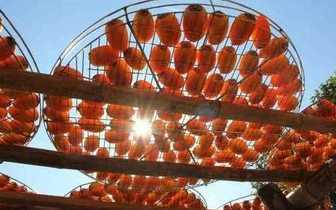 秋天必赏红柿大景 九降风下的一片金黄
