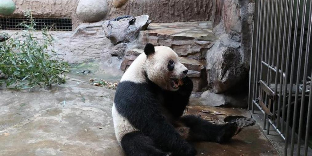 """北京动物园大熊猫吃上""""中秋特餐"""""""