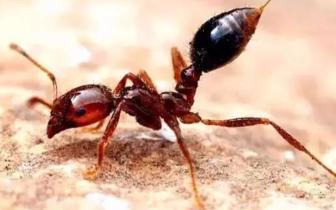 别碰红火蚁 市政府已发出疫情防控应急预案的通知