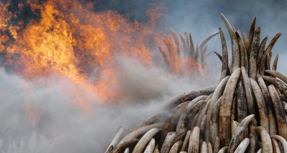 利润驱使屠杀 每年超4万头大象惨死