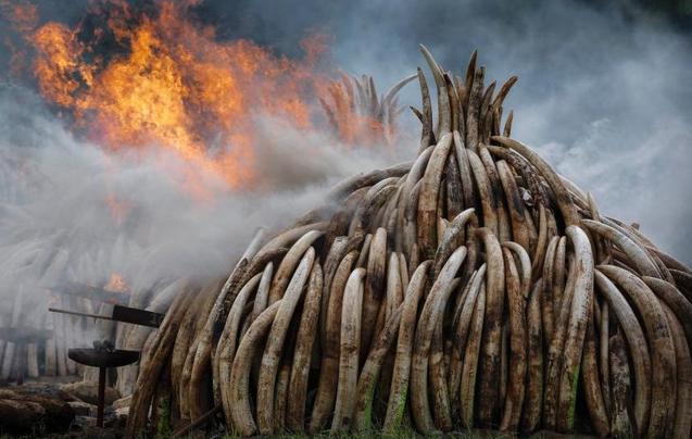利润驱使下的杀戮:每年超4万头大象被杀