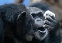 鹦鹉都能说话,为啥人类的近亲大猩猩却不会?